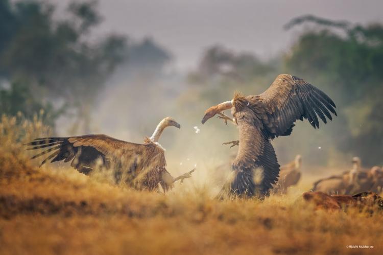 Vultures fighting ,shot near Taal Chappar ,Rajasthan.Nikon D810 + Nikkor 600mm f4 E FL VR